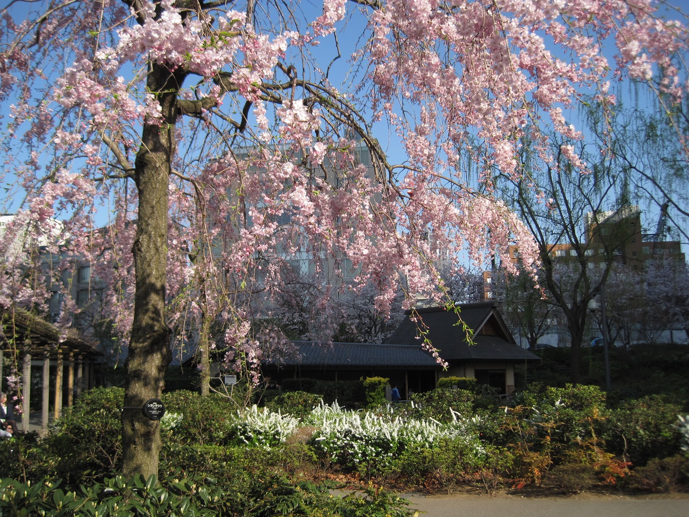 Cherry blossoms: Hinokicho Park & Tokyo Midtown (article by amuzen)
