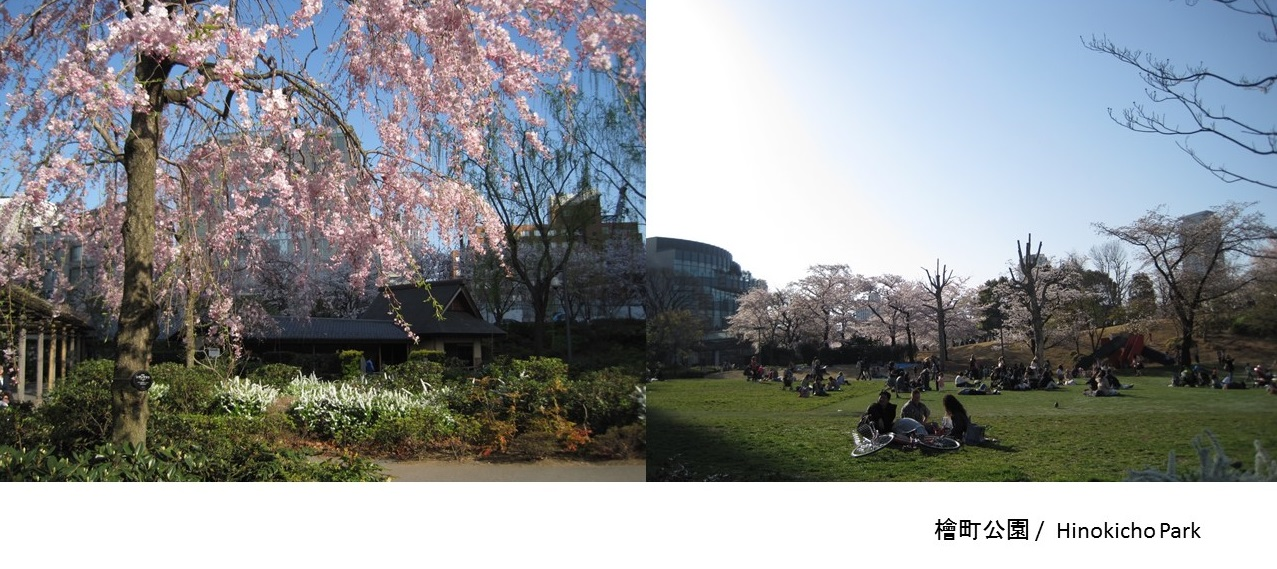 Cherry blossoms: Hinokicho Park & Tokyo Midtown (article by amuzen)