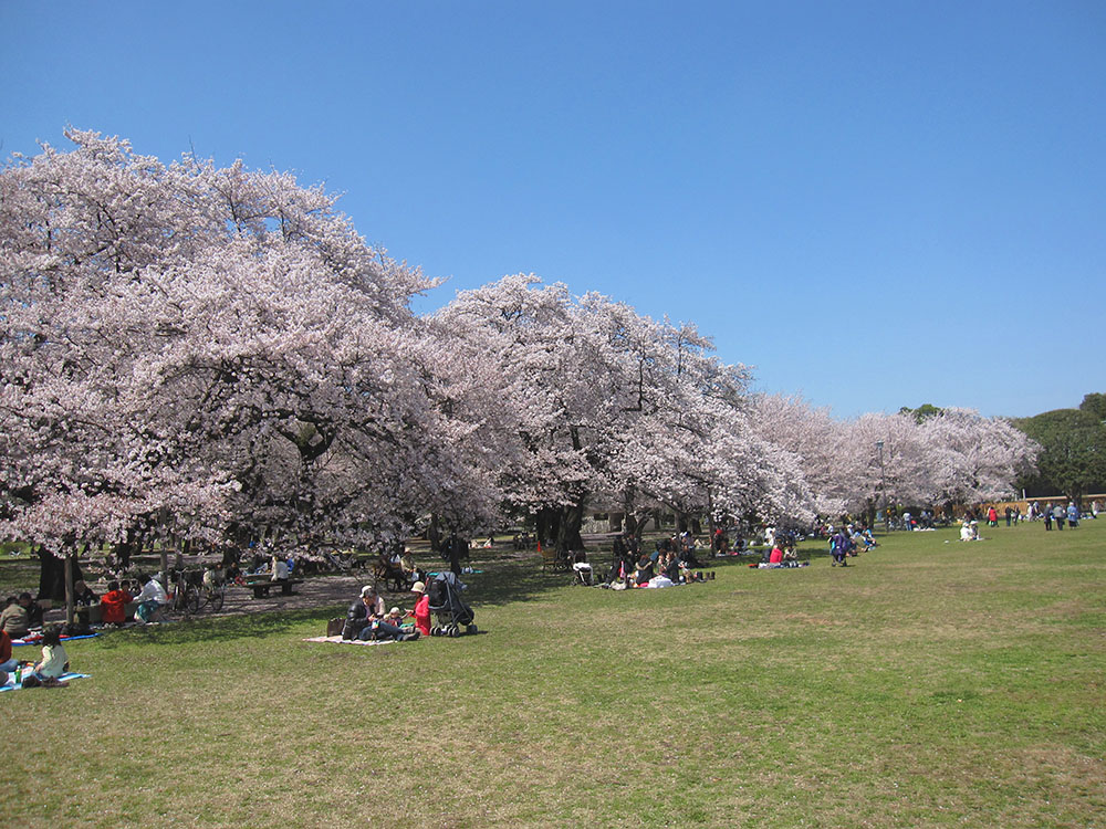 約1,700本のサクラが彩る、小金井公園でのお花見 2017 (amuzen article)
