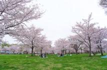 舎人公園の花見2020