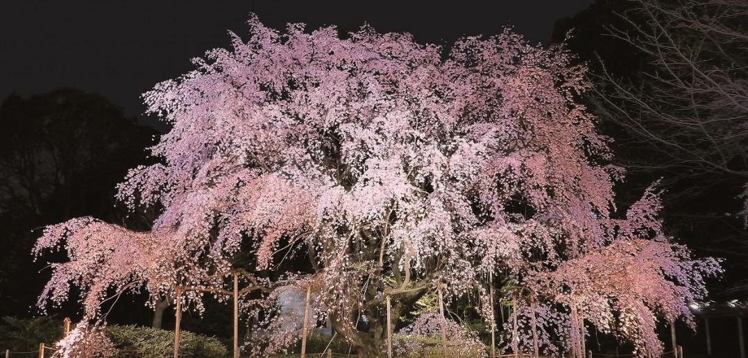 しだれ桜と大名庭園のライトアップ 2020