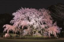 六義園 しだれ桜と大名庭園のライトアップ 2017 (amuzen article)