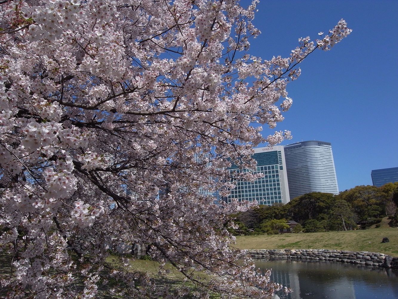 浜離宮恩賜庭園 華やかな桜と、春の開園時間延長2017(amuzen article)