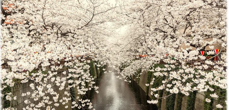 目黒川の花見 2020