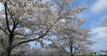 amuzen「千本桜が咲く、舎人公園の花見2018」