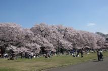 amuzen 「小金井公園の花見 2018」