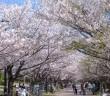 amuzen「葛西臨海公園の花見2018」
