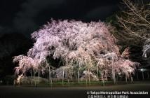しだれ桜と大名庭園のライトアップ 2019